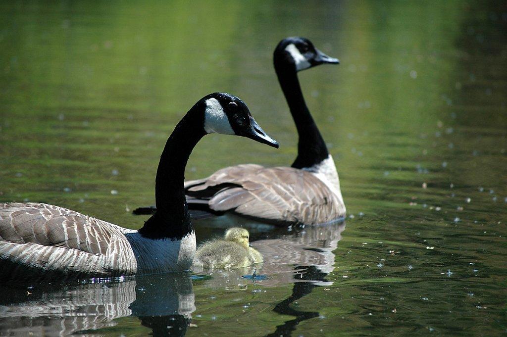 geese01-small.jpg