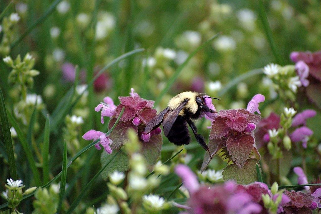 bumblebee02.jpg
