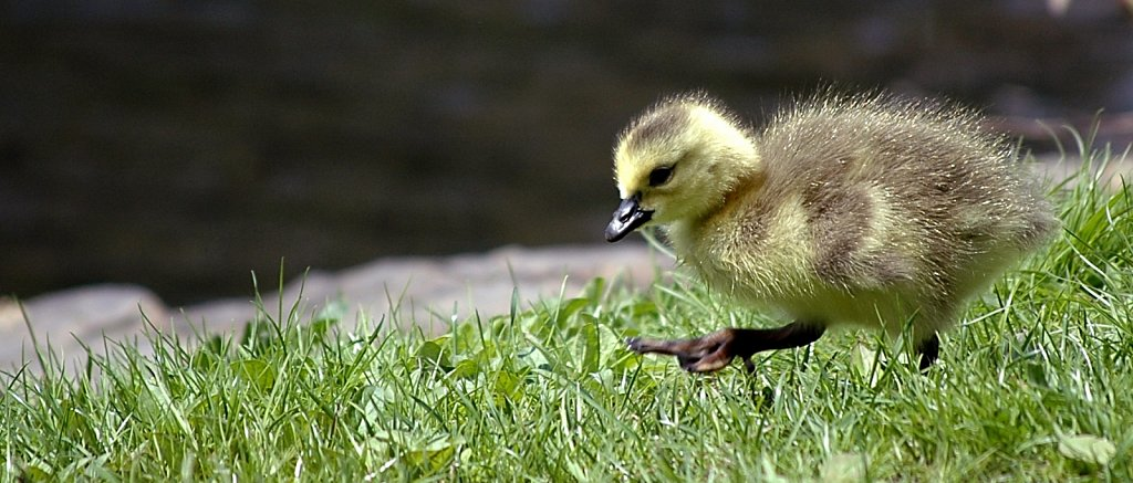 chick-cropped4.jpg