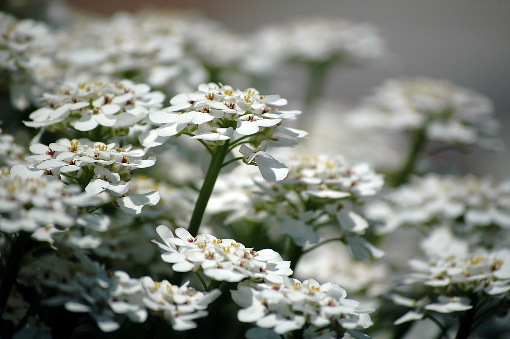 whiteFlowers01-small.jpg